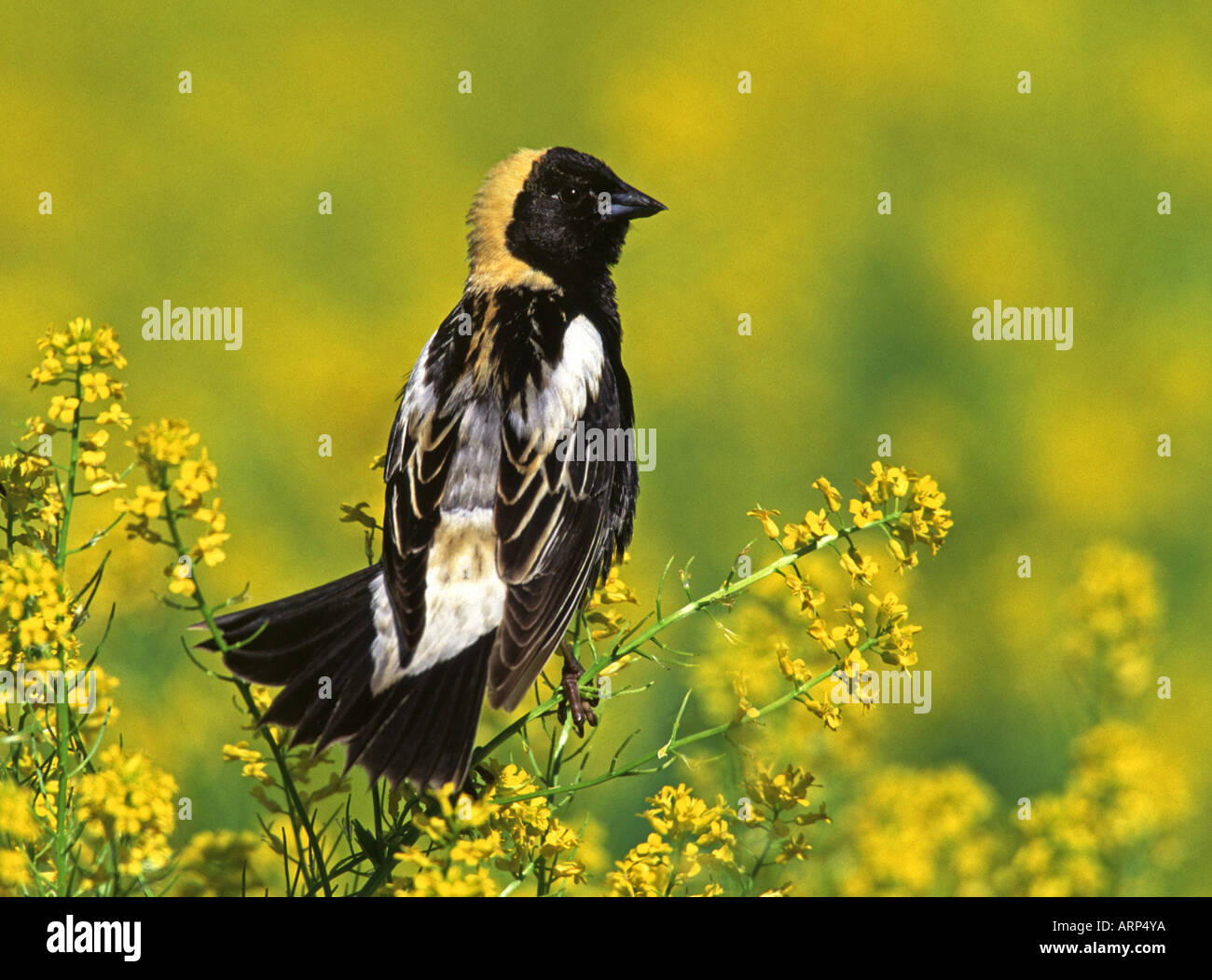 Bobolink Perched in Mustard Wildflower Blossoms - Stock Image