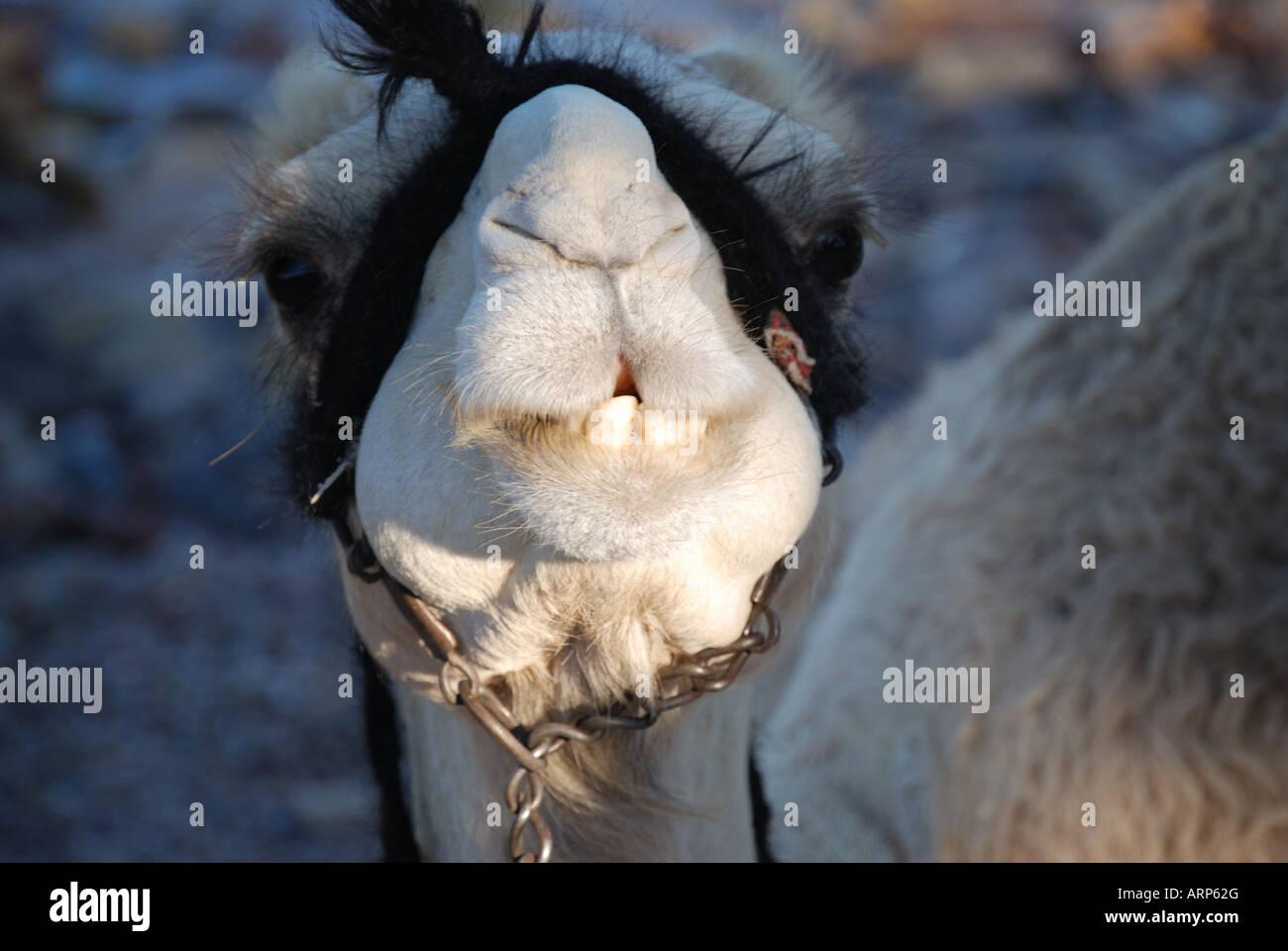 Close-up of camel's face, Nuweiba, Sinai Peninsula, Republic of Egypt - Stock Image