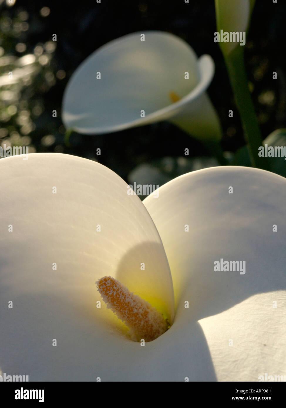 Golden calla (Zantedeschia aethiopica) - Stock Image