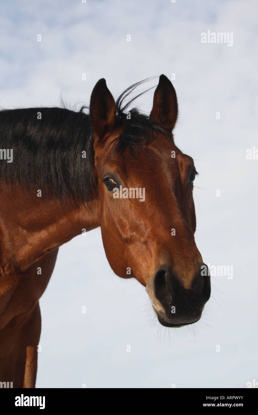 Portrait of the bay thoroughbred horse - Stock Image