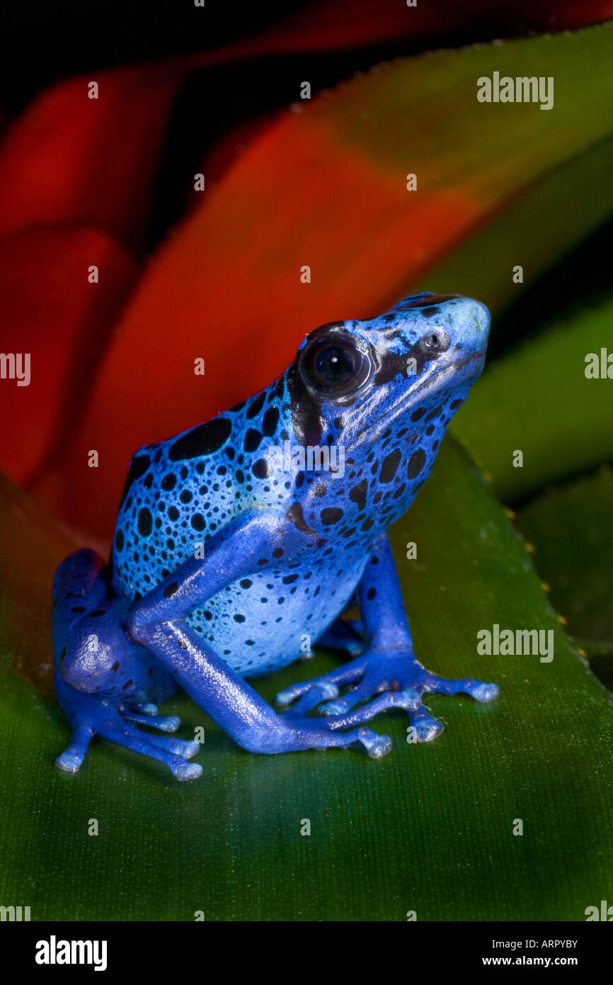 Poison dart frog (Dendrobates azureus), Surinam - Stock Image