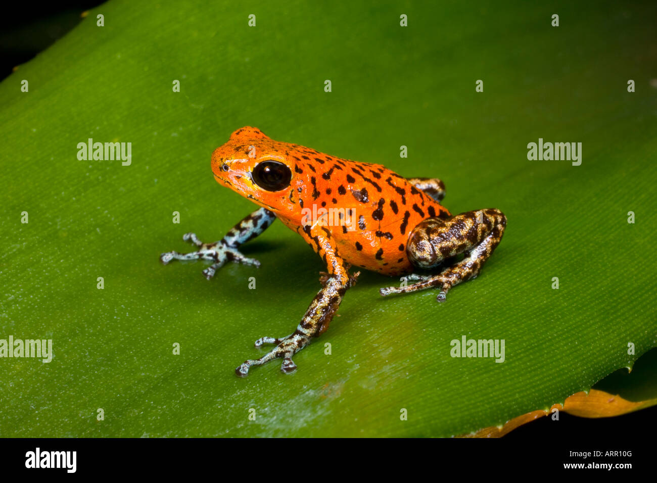 Poison dart frog (Dendrobates pumilio), Panama - Stock Image