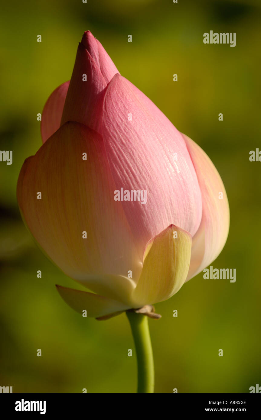 Closed Lotus Flower In Pond On Oahu Hawaii Stock Photo 9206477 Alamy