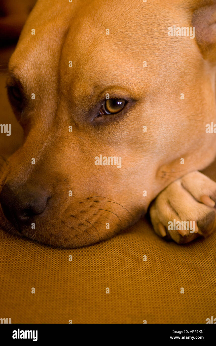 Pit Bull, Muddy, giving you the eye - Stock Image