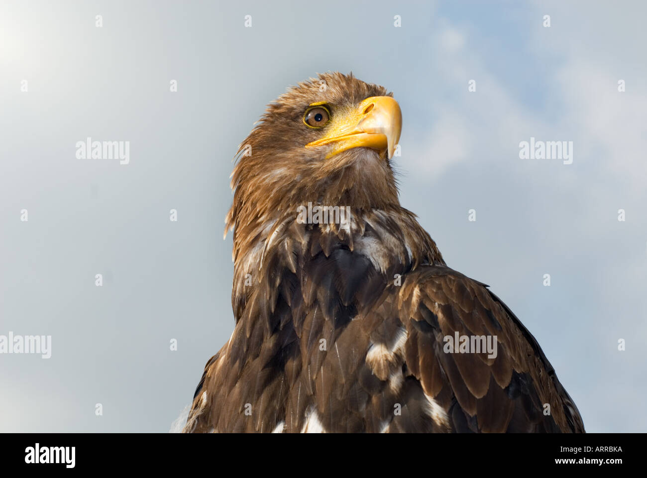 BUZZARD head south america eagle - Stock Image