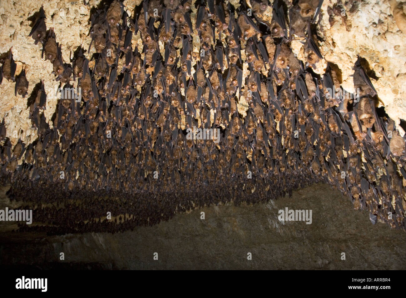 Great Colony Wild Bats In The Bat Cave Chamera Gupha Nepal