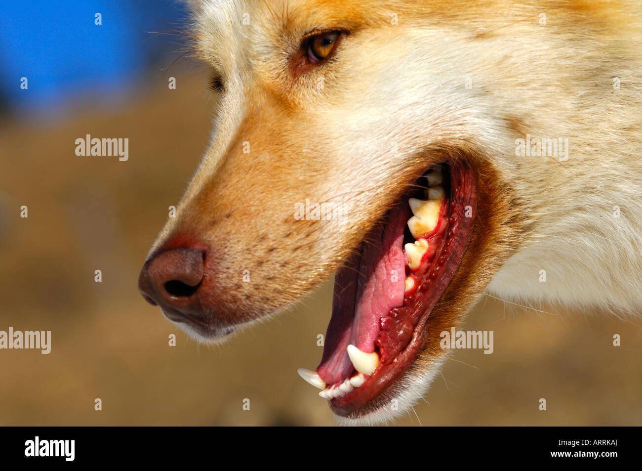 Teeth denture snout Greenland Dog sledge dog sled dog - Stock Image