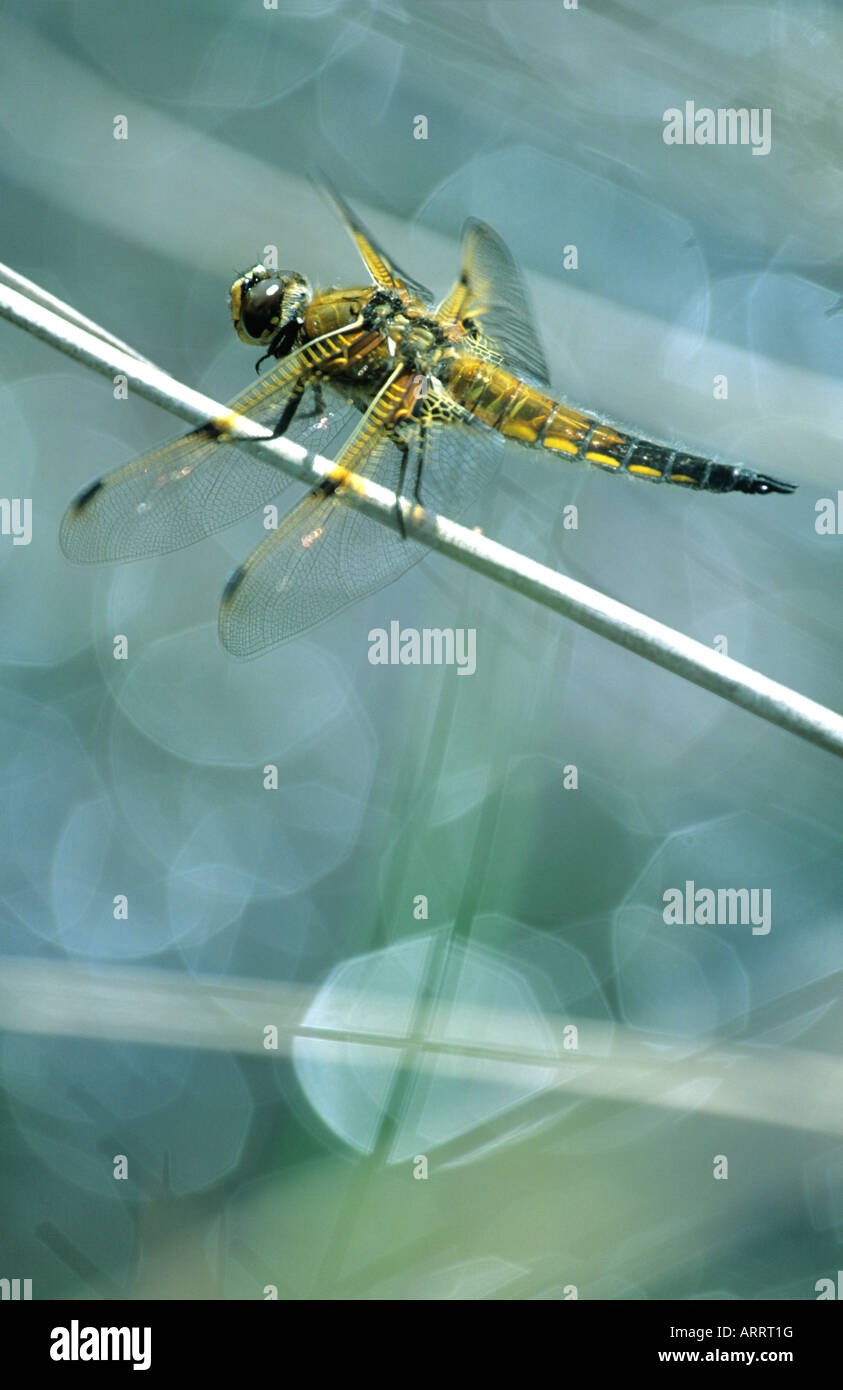 Four Spotted Chaser Dragonfly (Libellula Quadrimaculata) - Stock Image