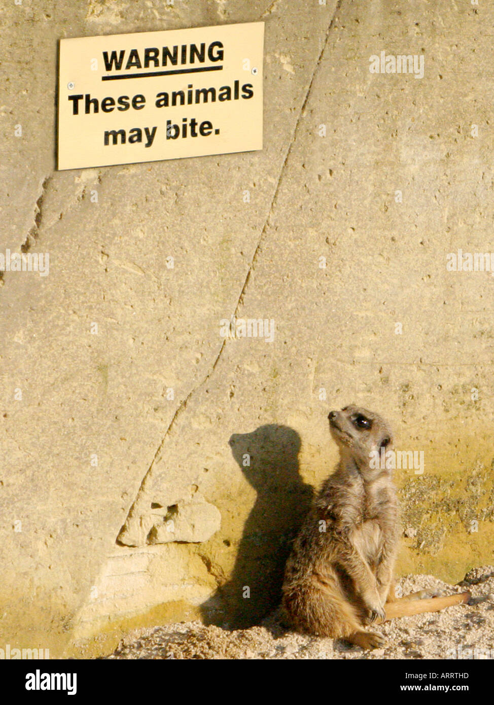 A meercat looking at a sign - these animals may bite. - Stock Image