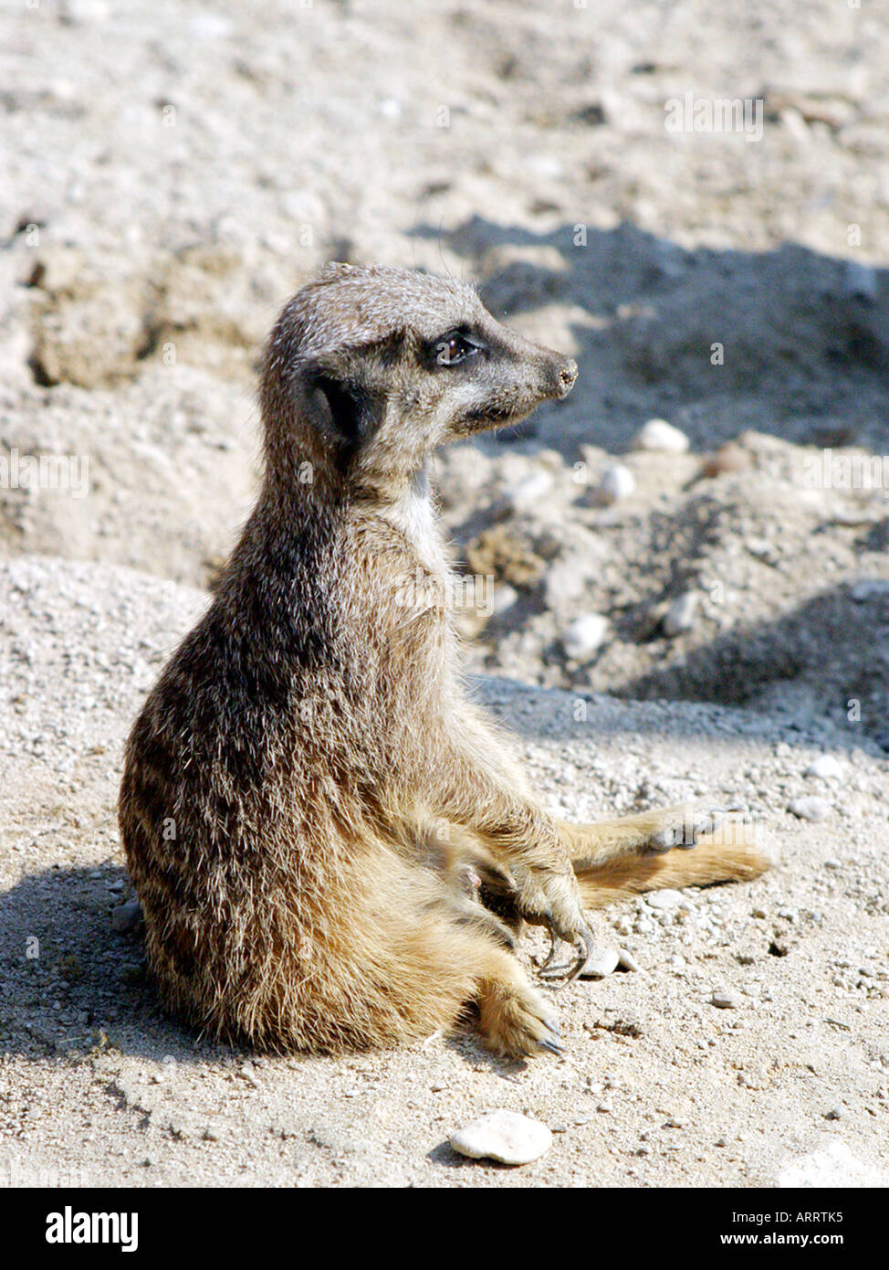 A meercat relaxing in the sun. - Stock Image