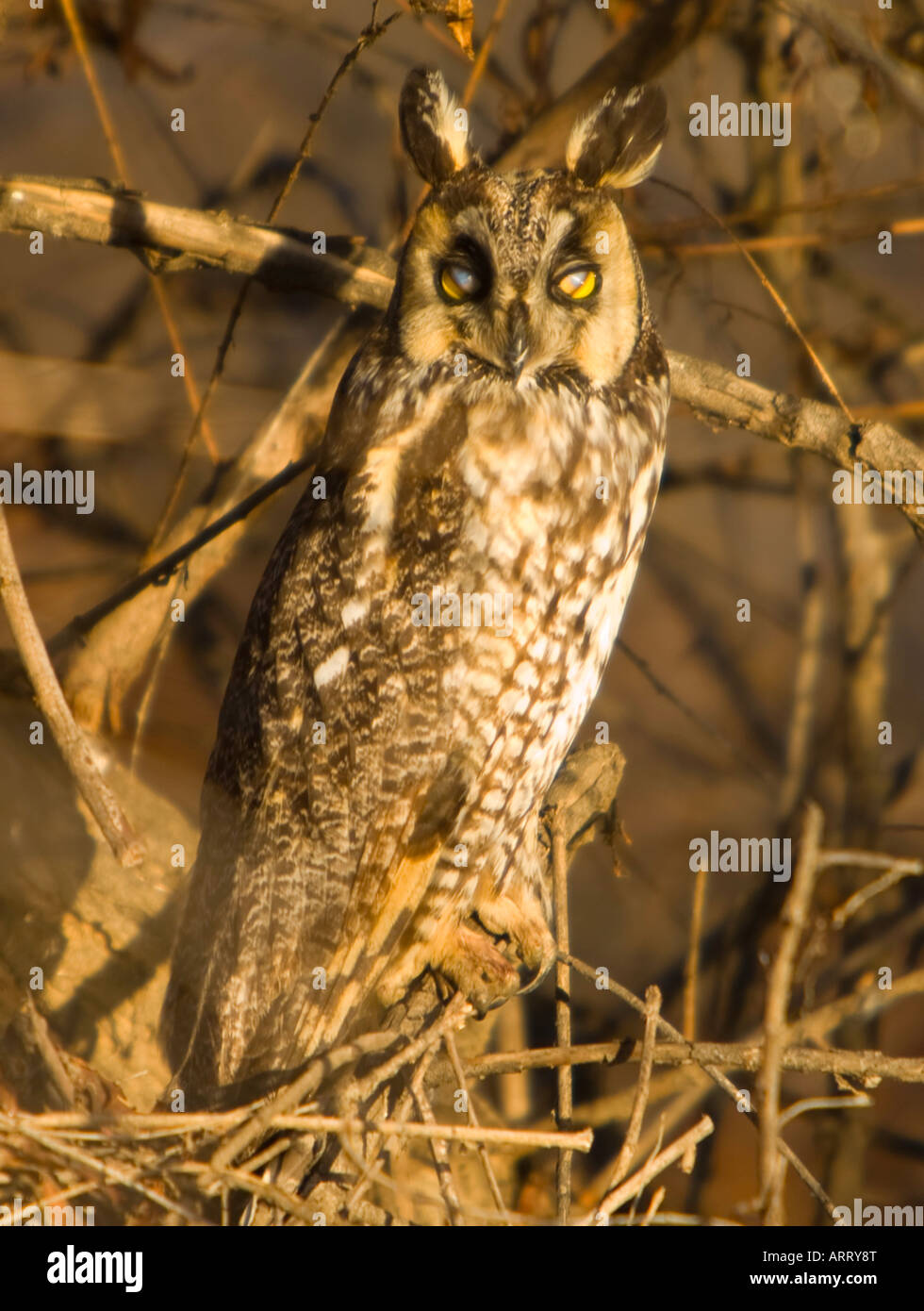 Long Eared Owl Asio otus Canyon Lake Riverside County California United States - Stock Image