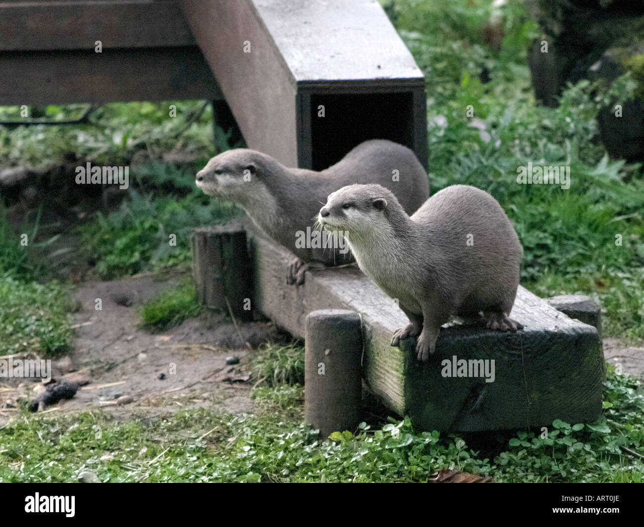 Two otters by their holt. - Stock Image