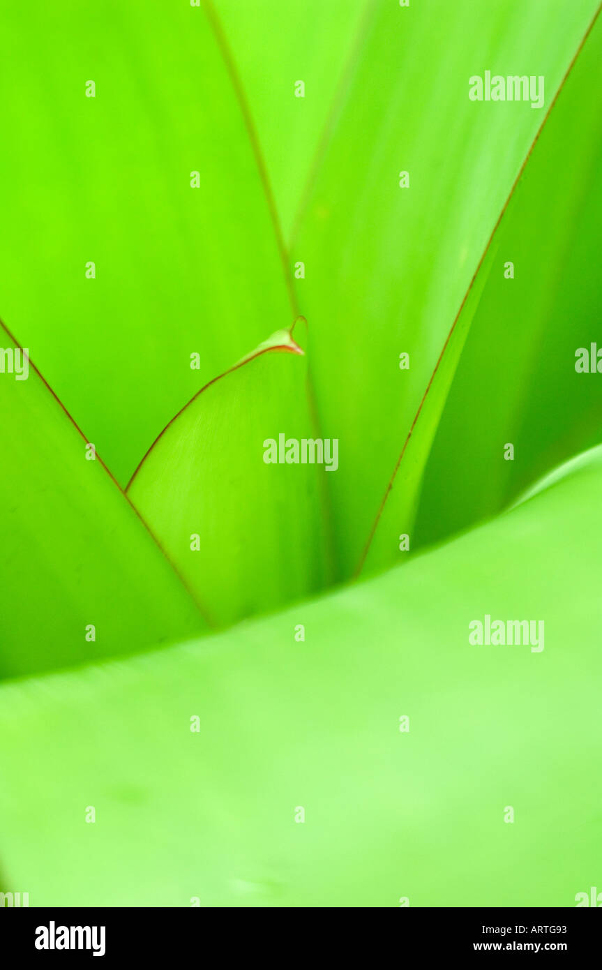 Agave leaves abstract - Stock Image
