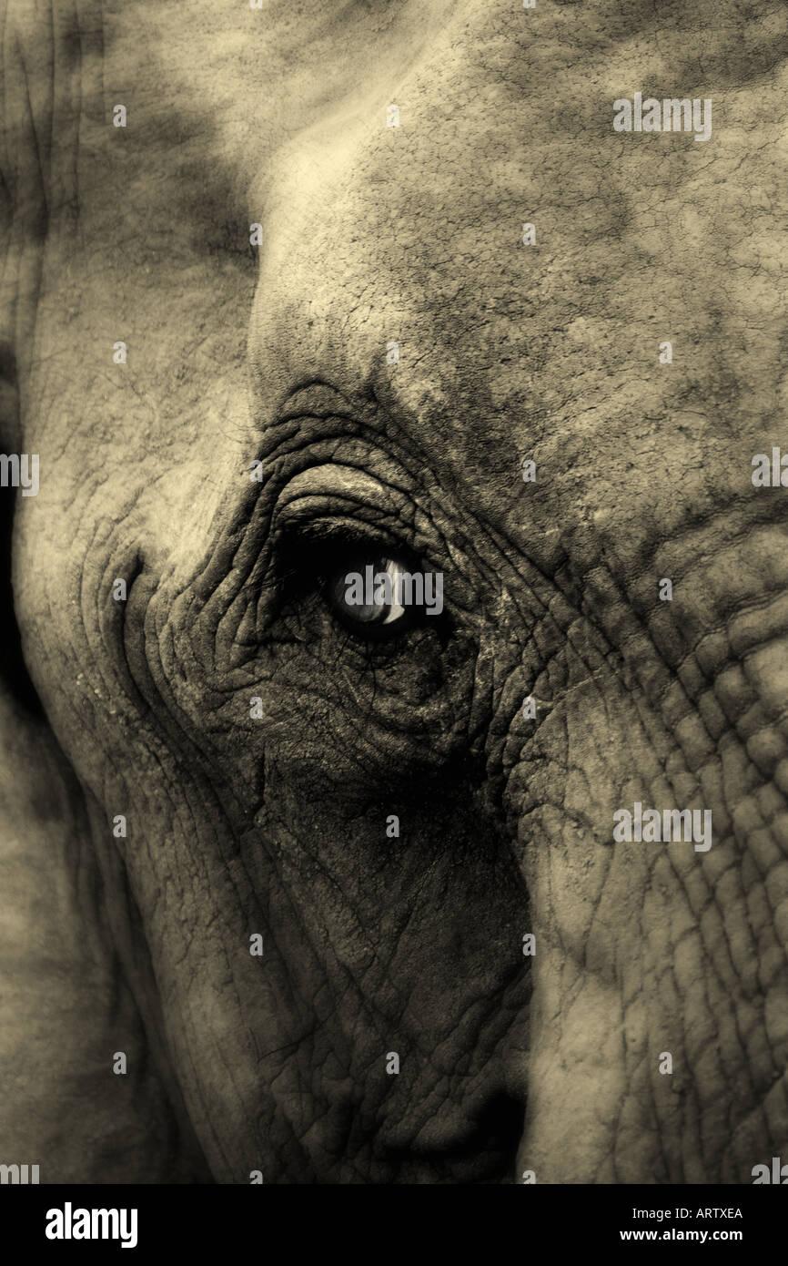 mature elephant tight head shot - Stock Image