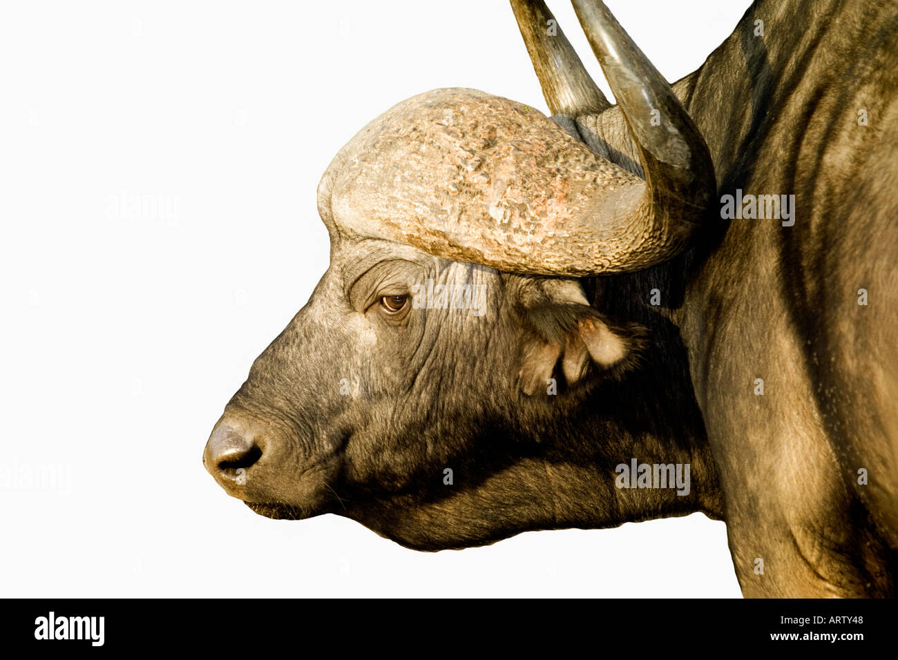 Tight profile image of water buffalo in South Africa Krueger National Park - Stock Image