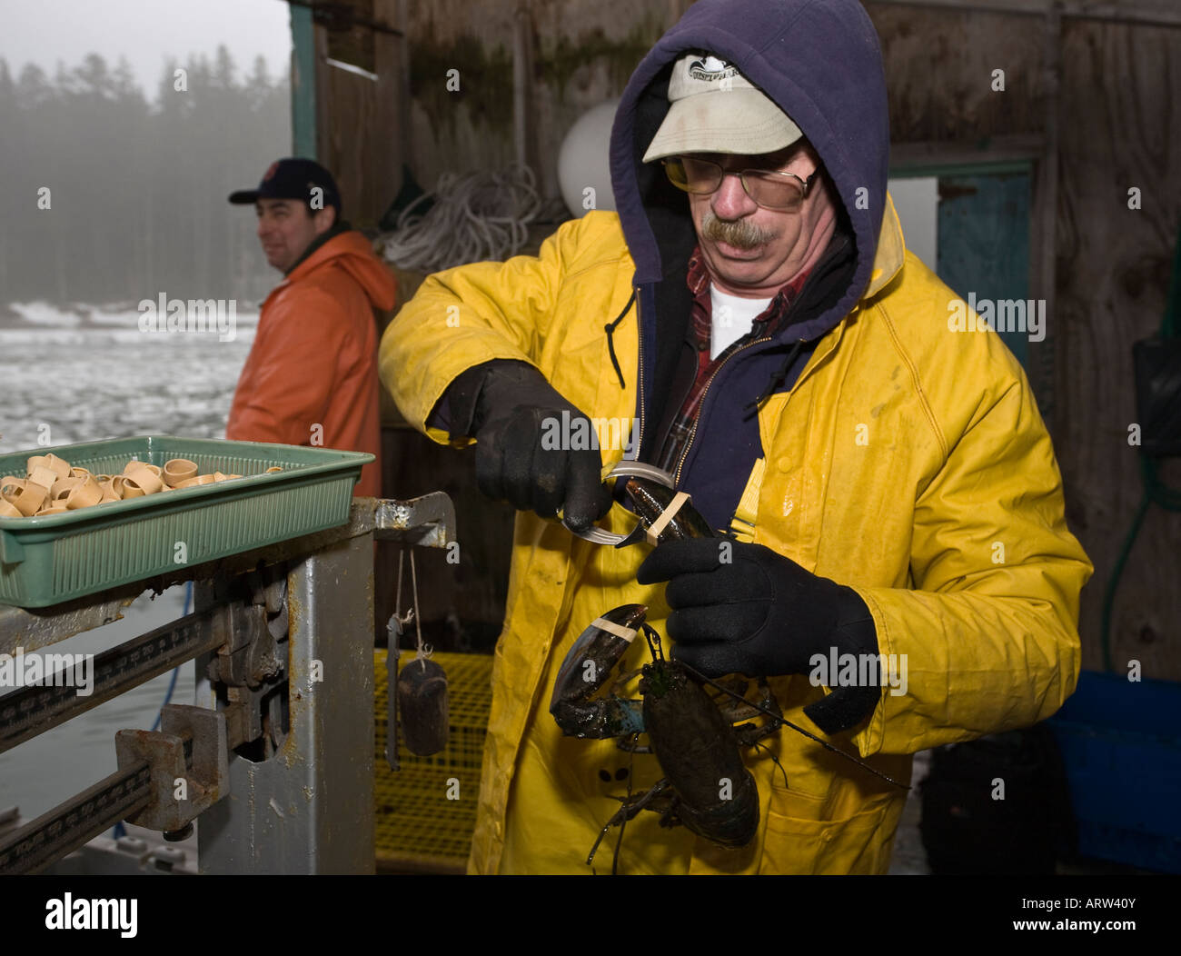 A lobsterman bands a lobster's claws in a lobster car on an icy foggy March day in Stonington, Deer Isle, Maine. - Stock Image