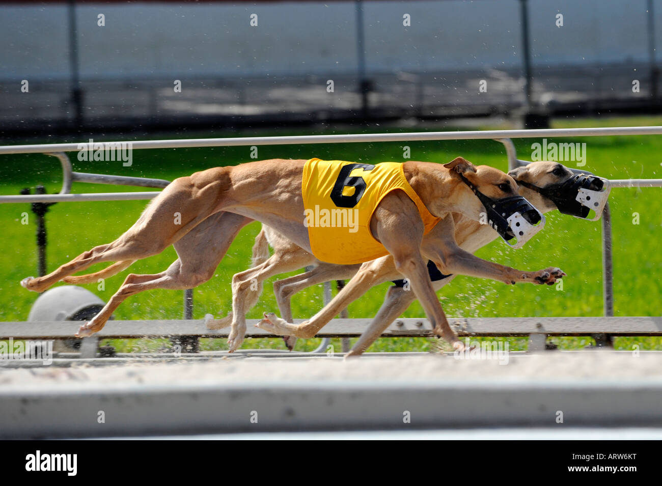 Greyhound dog racing at Fort Myers Naples dog track Florida Stock Photo
