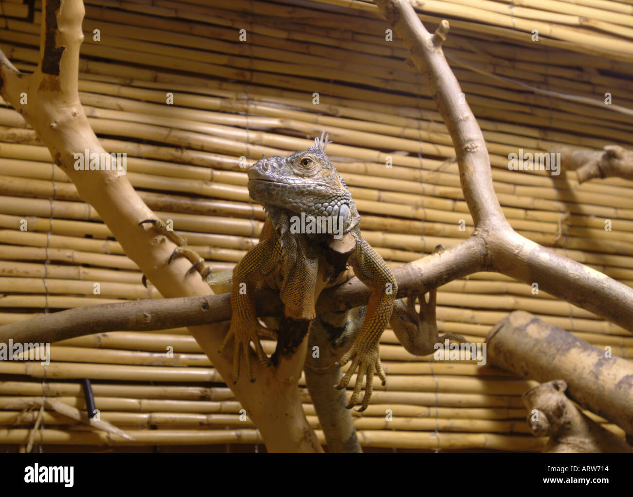 An Iguana hangs loose in the Serpentarium on Skye Scotland Stock Photo