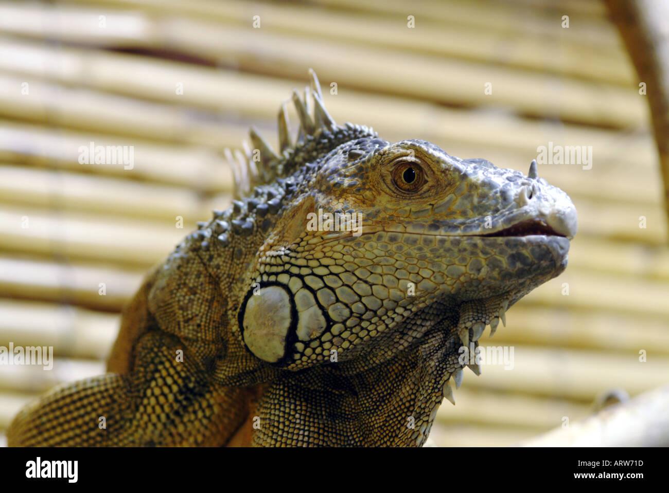 An Iguana showing his little teeth in the Serpentarium on Skye Scotland Stock Photo