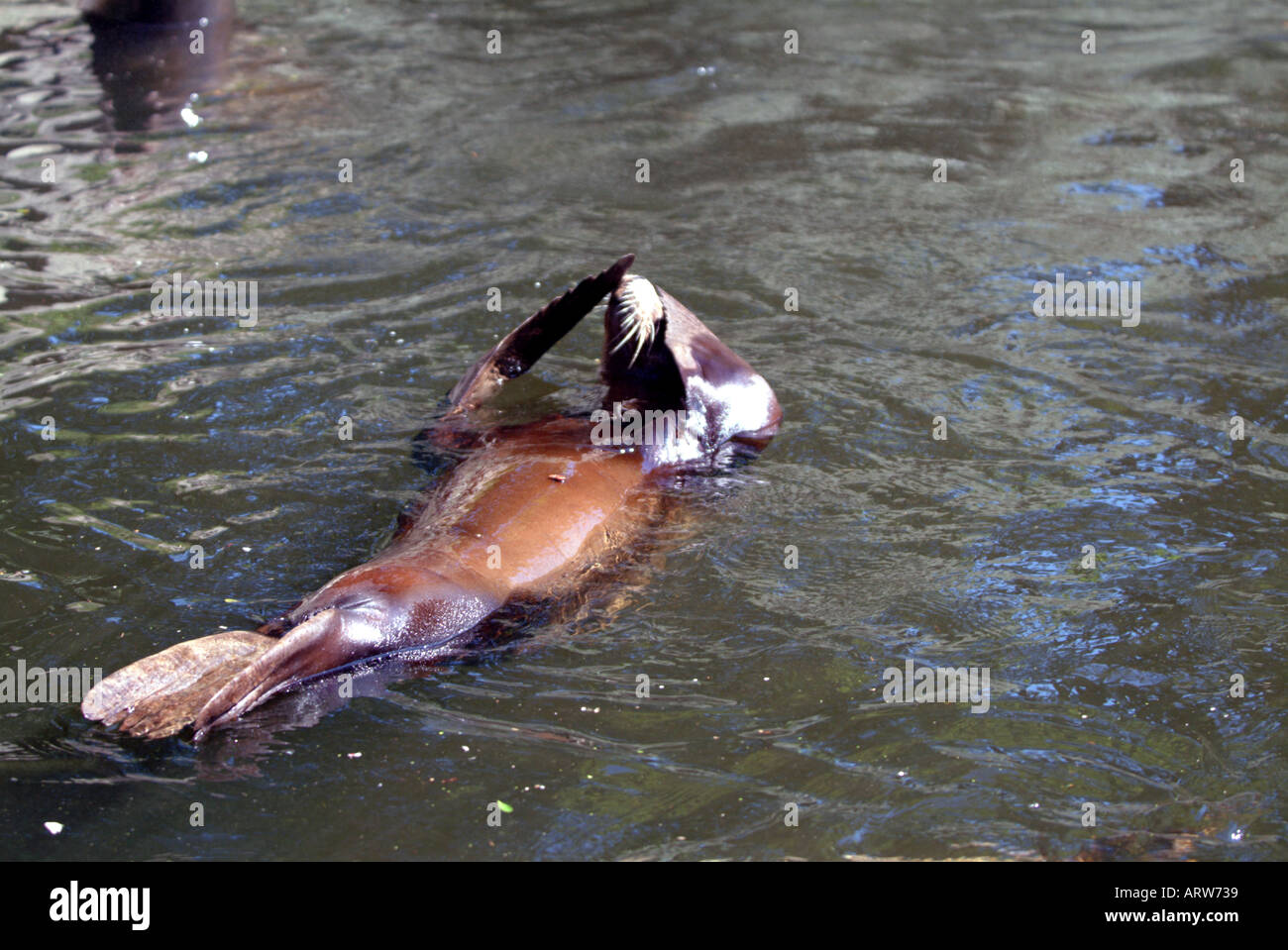 Californian sea lion floating on its back in Edinburgh zoo Stock Photo