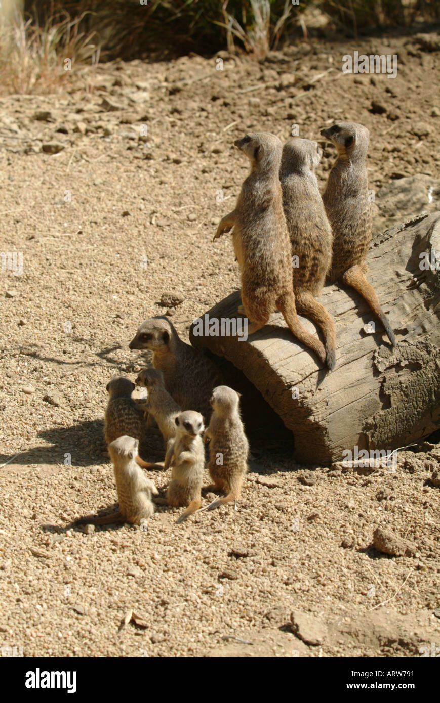 Meerkats parents and pups Stock Photo
