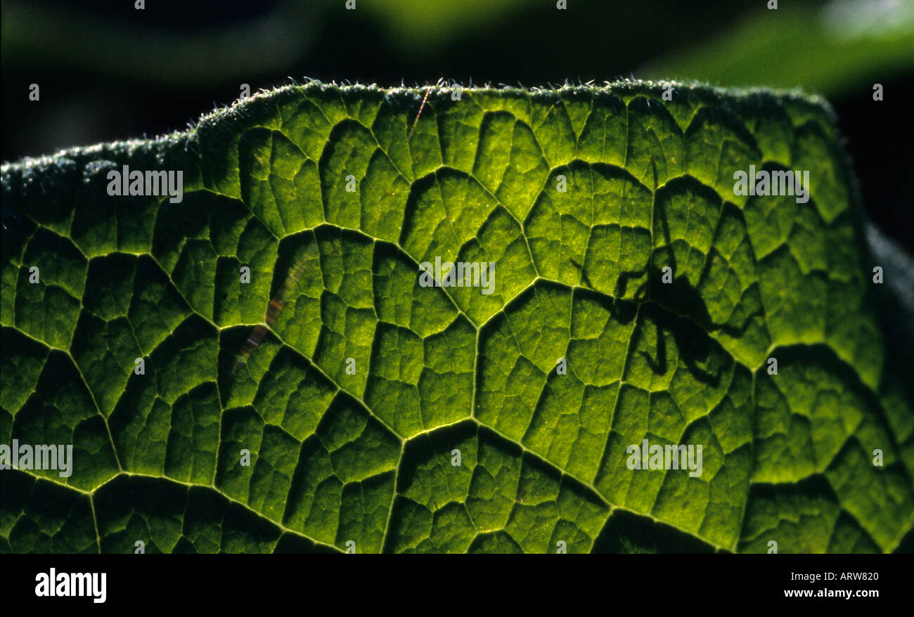 Close up of horse radish leave Armoracia rusticana with spider shadow - Stock Image