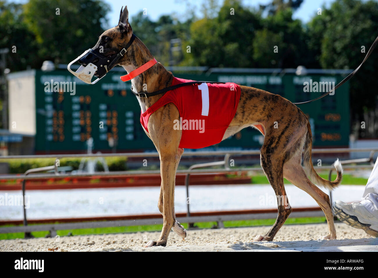 Greyhound dog racing at Fort Myers Naples dog track Florida - Stock Image