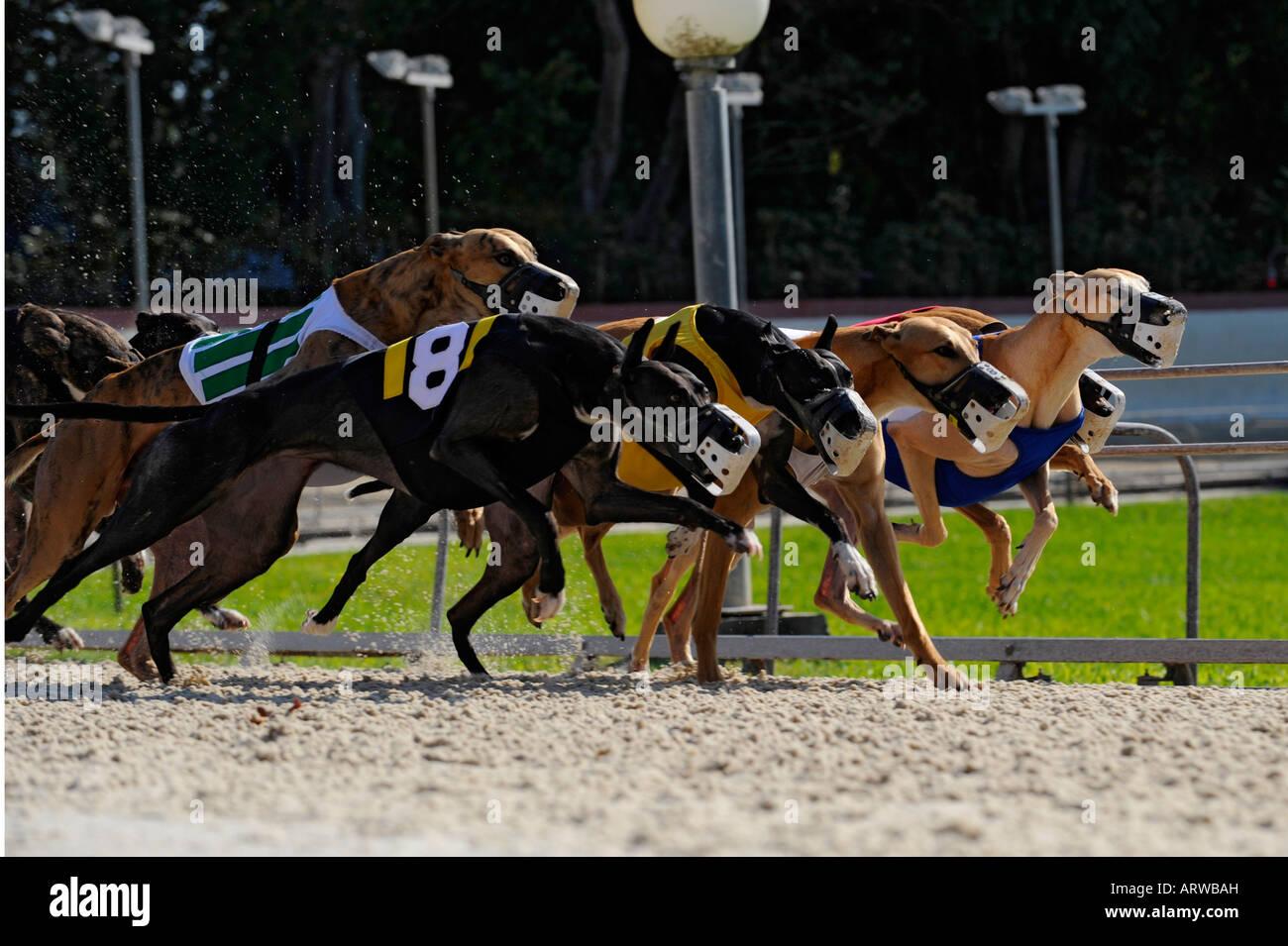 Greyhound dog racing at Fort Myers Naples dog track Florida - Stock Image