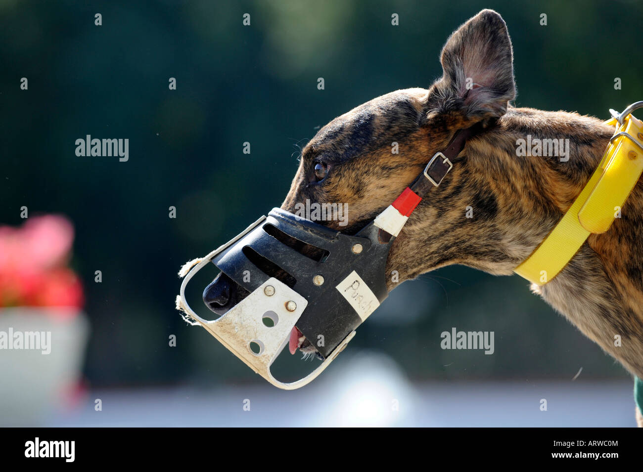 close up of head and muzzle Greyhound dog racing at Fort Myers Naples dog track Florida - Stock Image