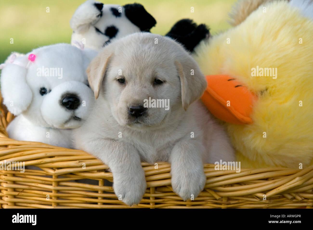 Yellow Labrador Retriever Akc Puppy In A Basket Full Of Stuffed