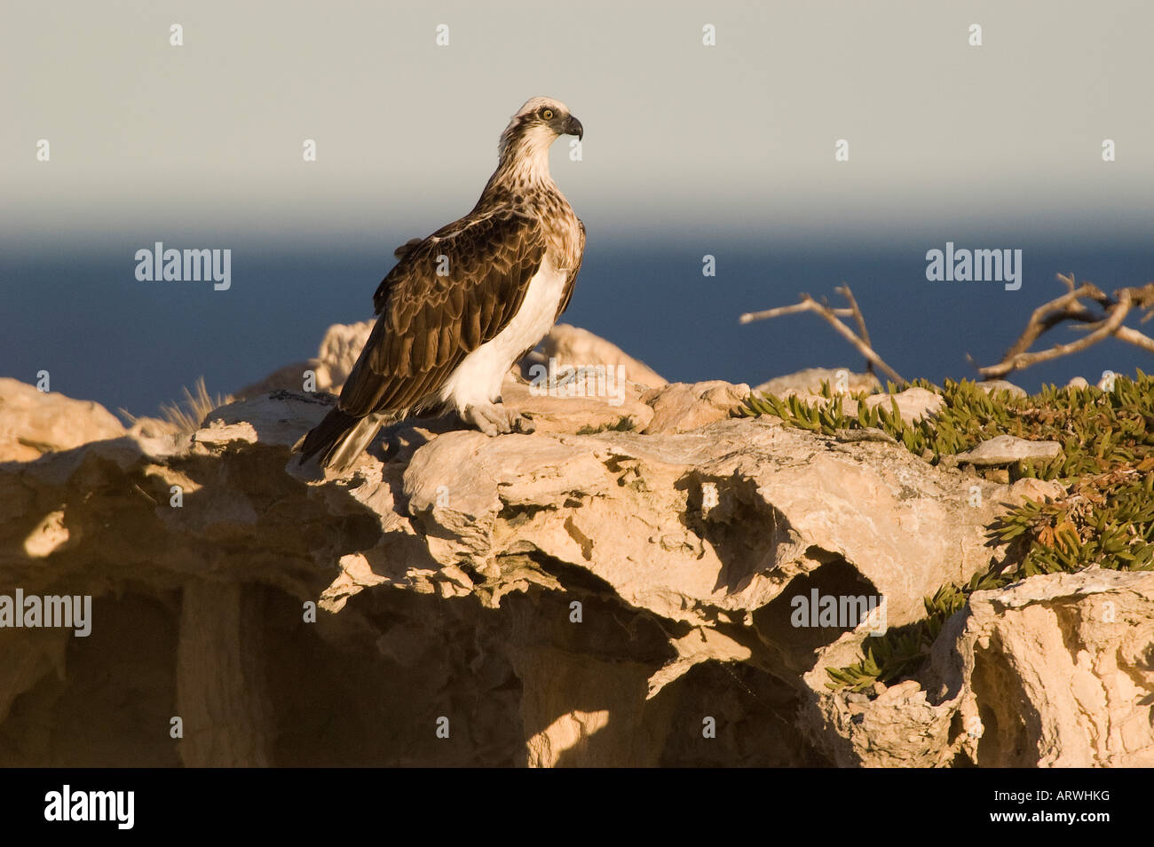 Lone Osprey nesting on a cliff Pandion haliaetus adult pair at nest or eyrie feeding chick Stock Photo
