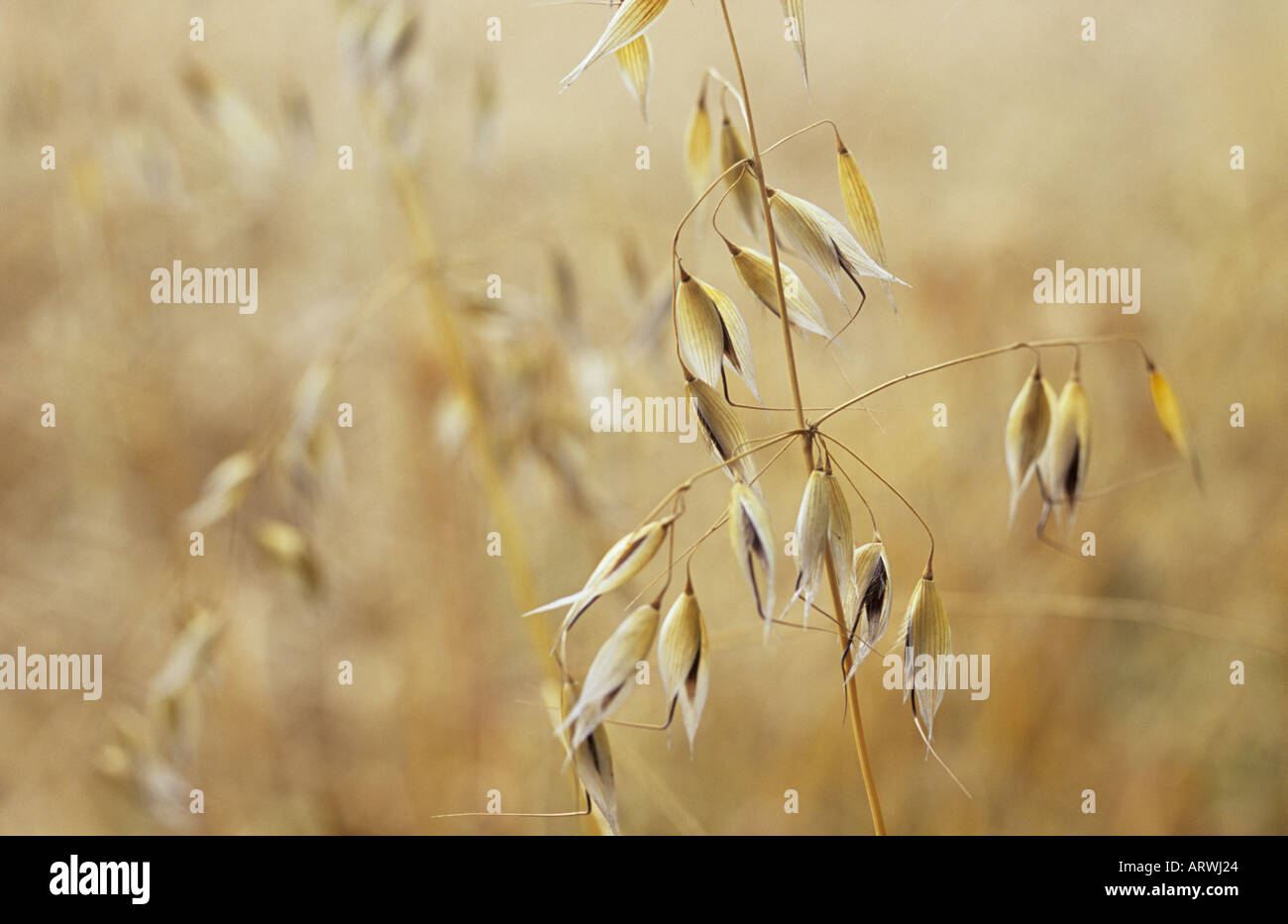 Close up of a ripe stem of Wild oat or Avena fatua against a defocussed background of other ripe stems Stock Photo