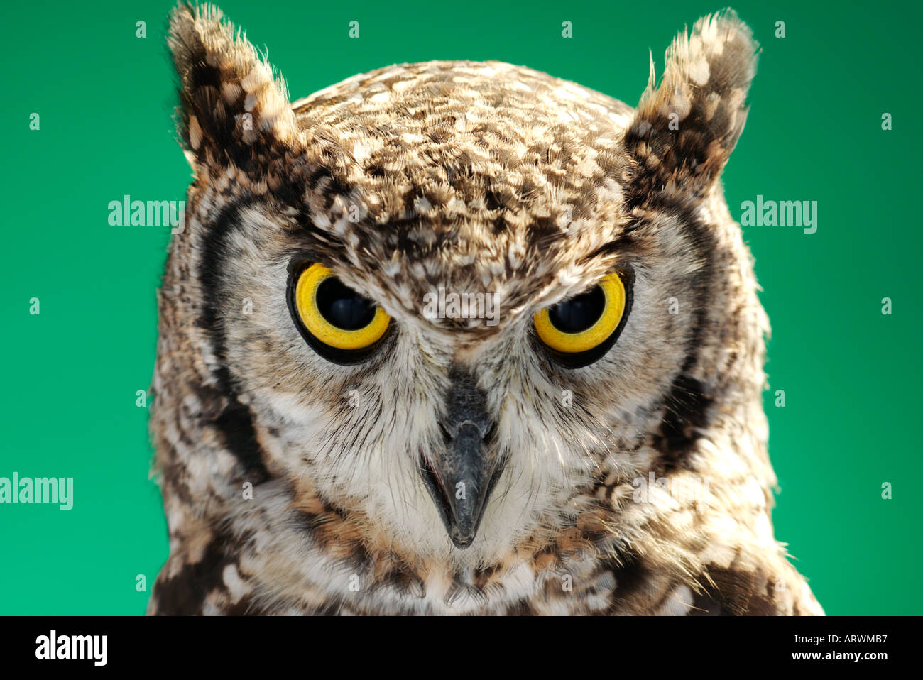Cape Eagle Owl - Stock Image