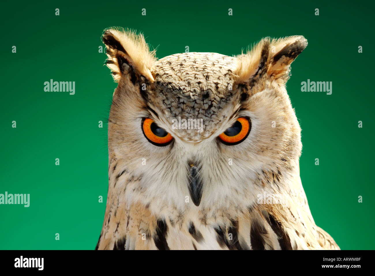 Siberian Eagle Owl Stock Photo