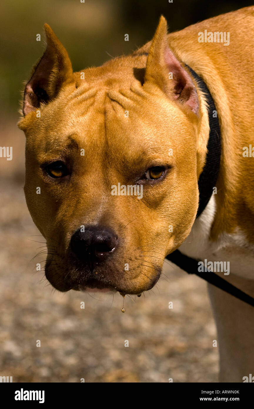 Pit Bull Stare - Stock Image