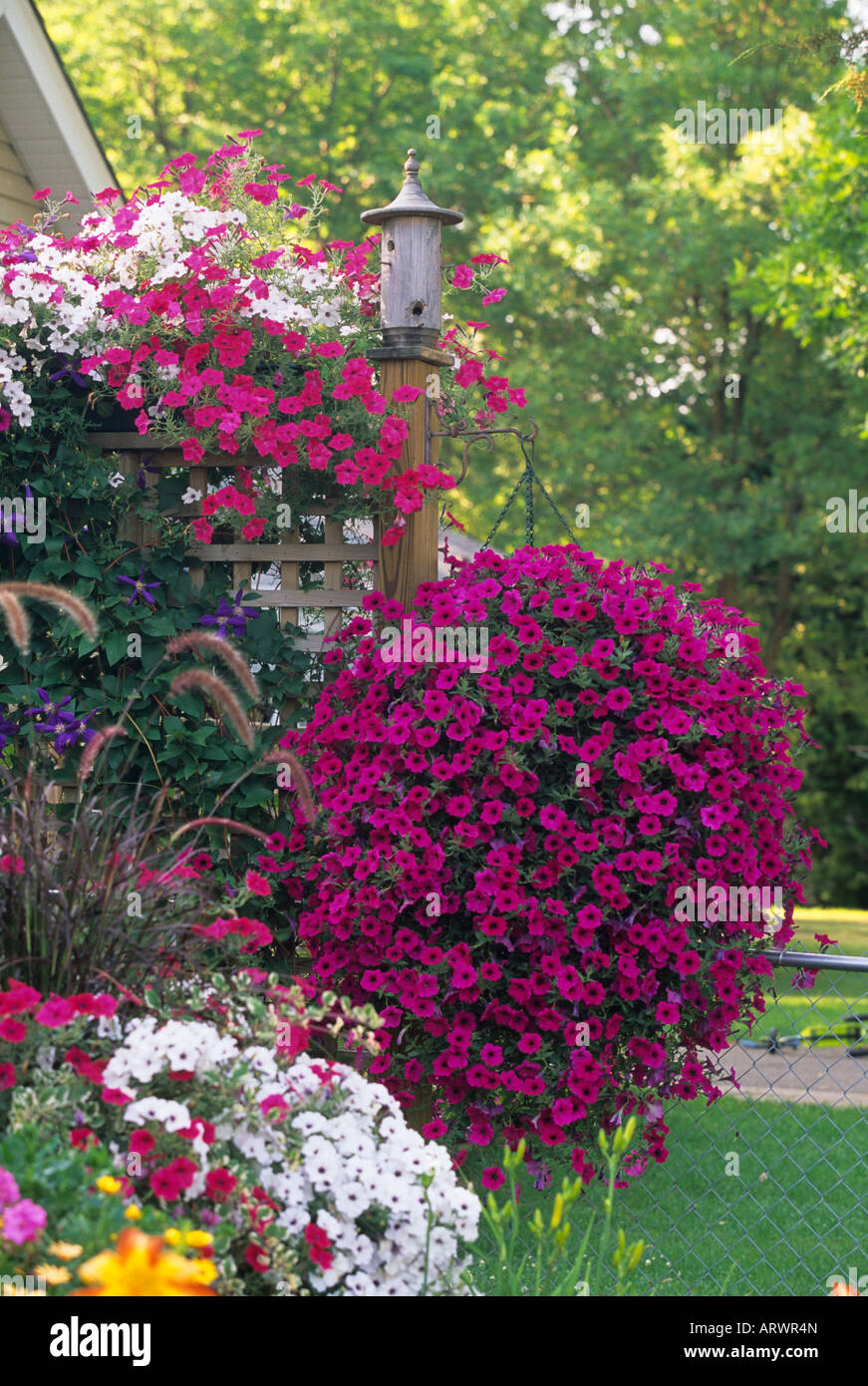 Hanging Baskets Of Wave And Tidal Wave Petunias And Climbing