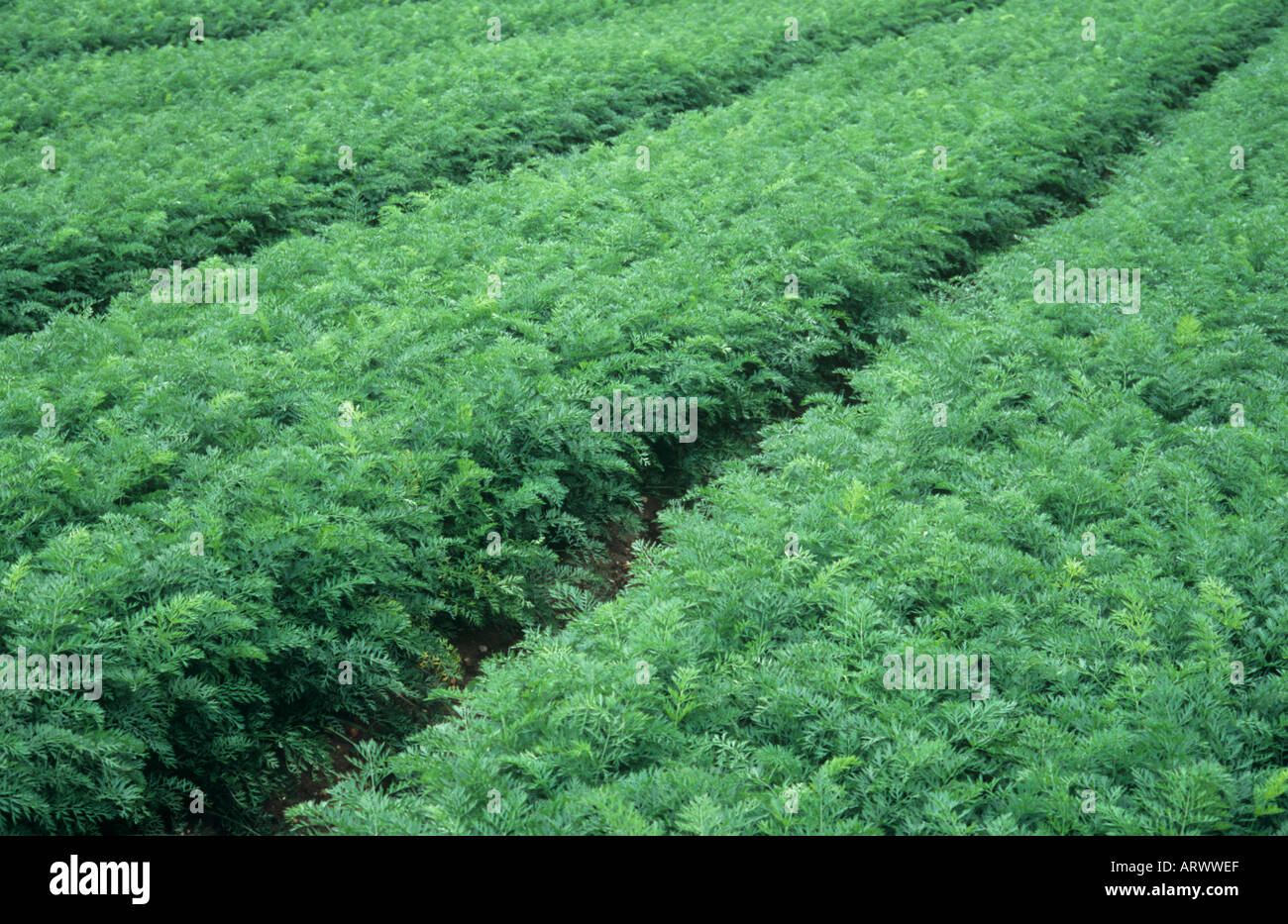 Part of a field containing rows of healthy maturing carrot or Daucus carota plants with tractor tramlines visible Stock Photo