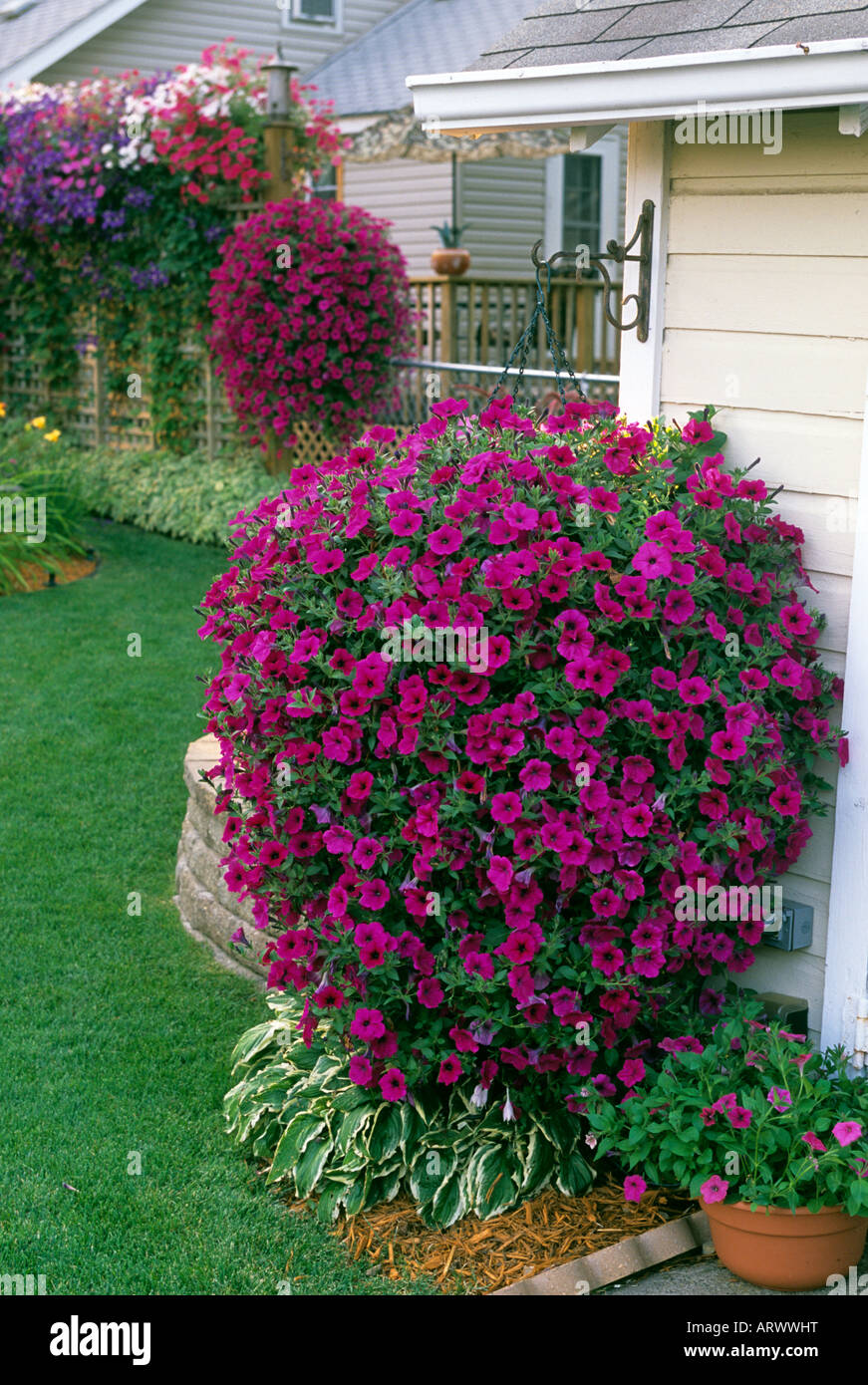 Hanging Baskets Of Tidal Wave Petunias And Potting Shed In