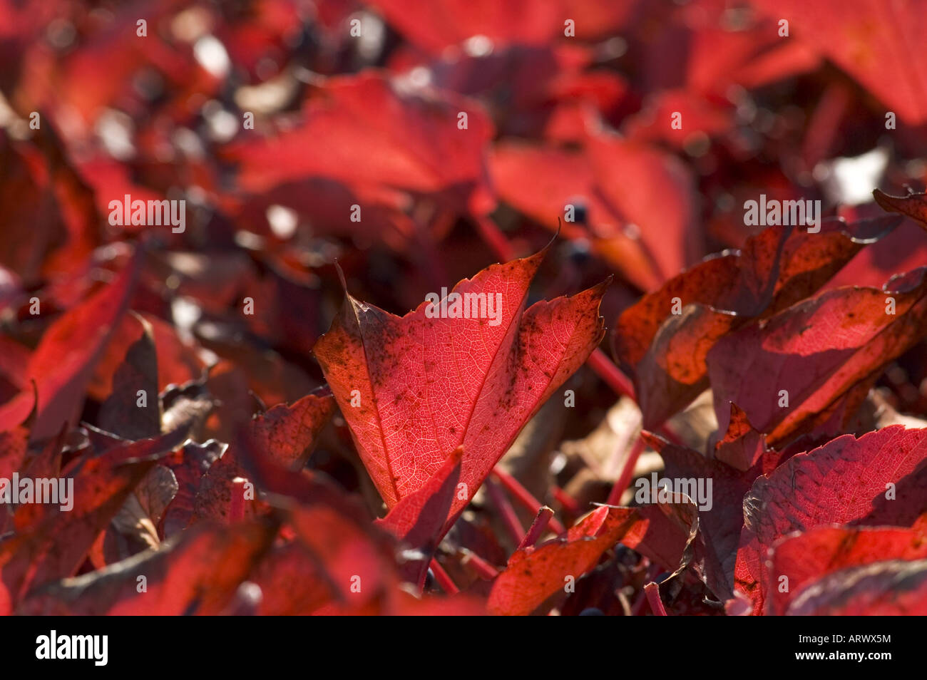 Autumn foliage colours of Boston Japanese Ivy in Alsace France - Stock Image