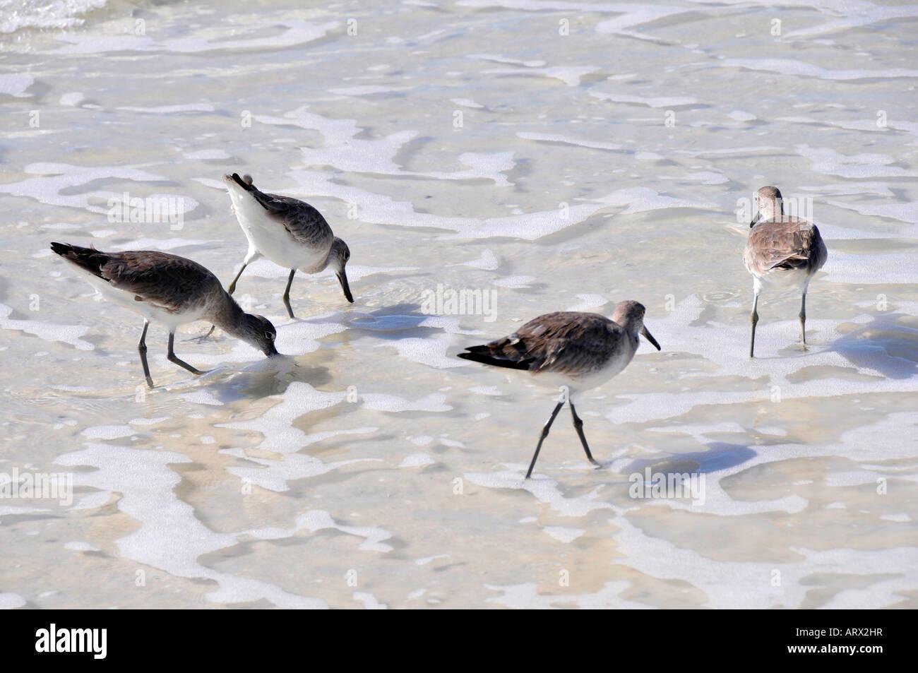 Willet Catoptrophorus semipalmatus Florida water shore bird search out food - Stock Image