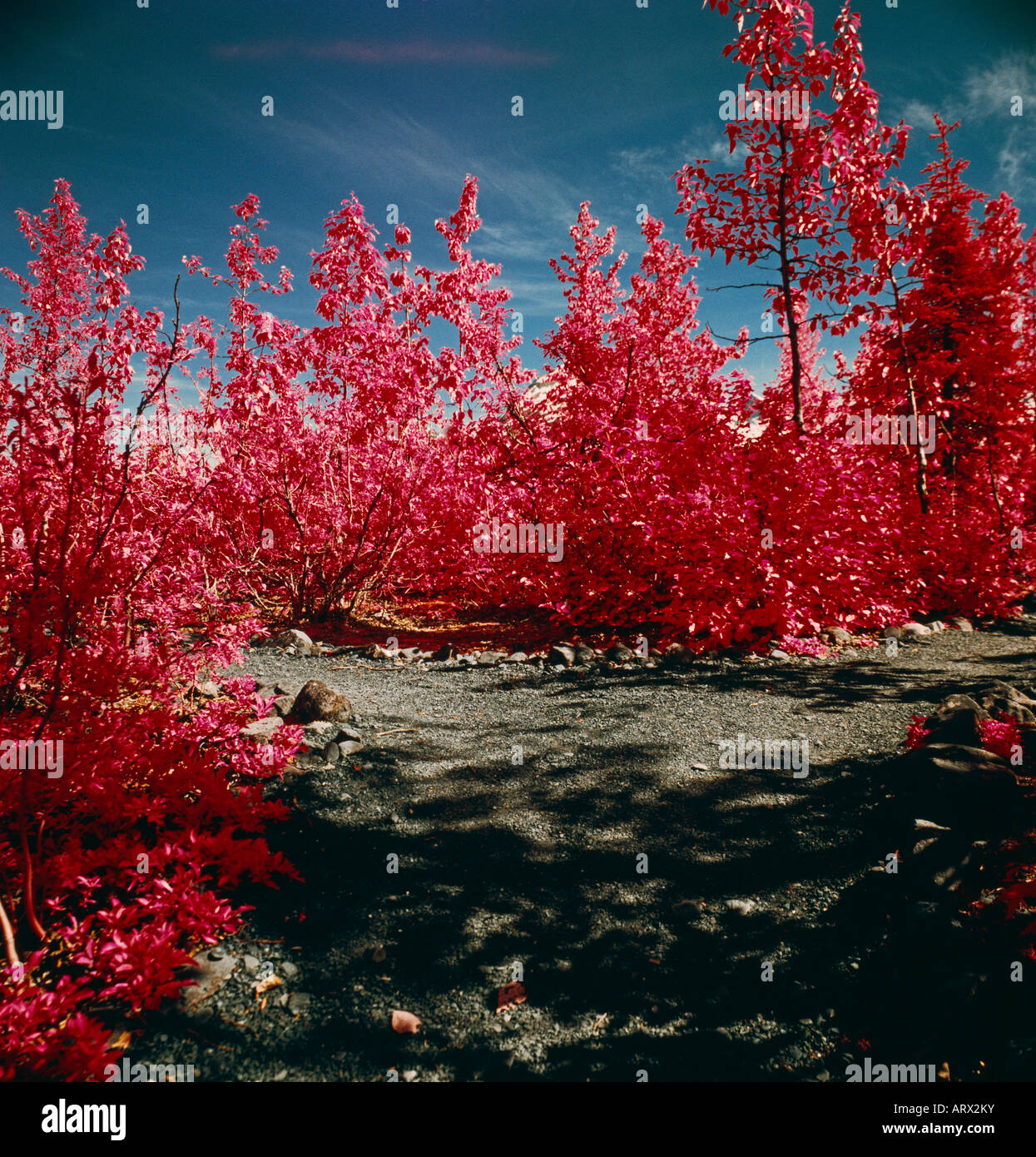 An color infrared photograph of the cotton wood and the willow trees just by the glacier. - Stock Image