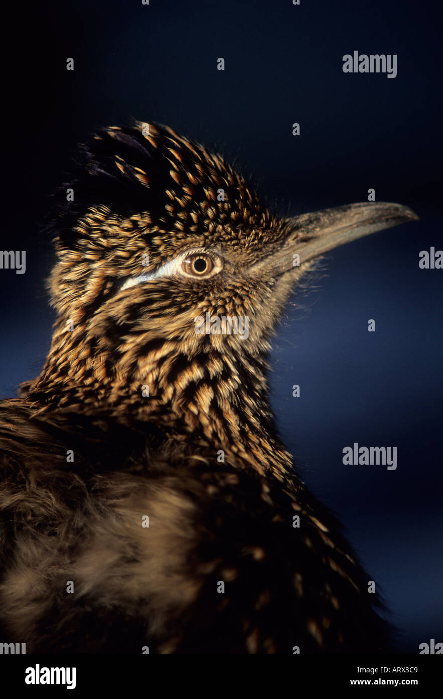 ROADRUNNER (Geococcyx californianus) CAPTIVE Portrait - Stock Image