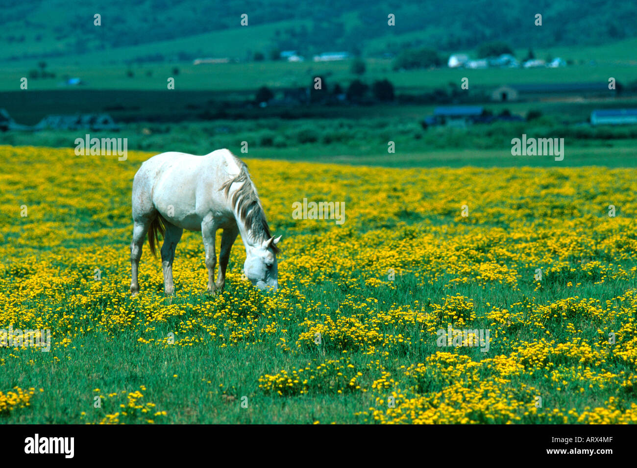 Flowers steamboat springs colorado stock photos flowers steamboat white horse in field of yellow flowers near steamboat springs colorado usa stock image mightylinksfo