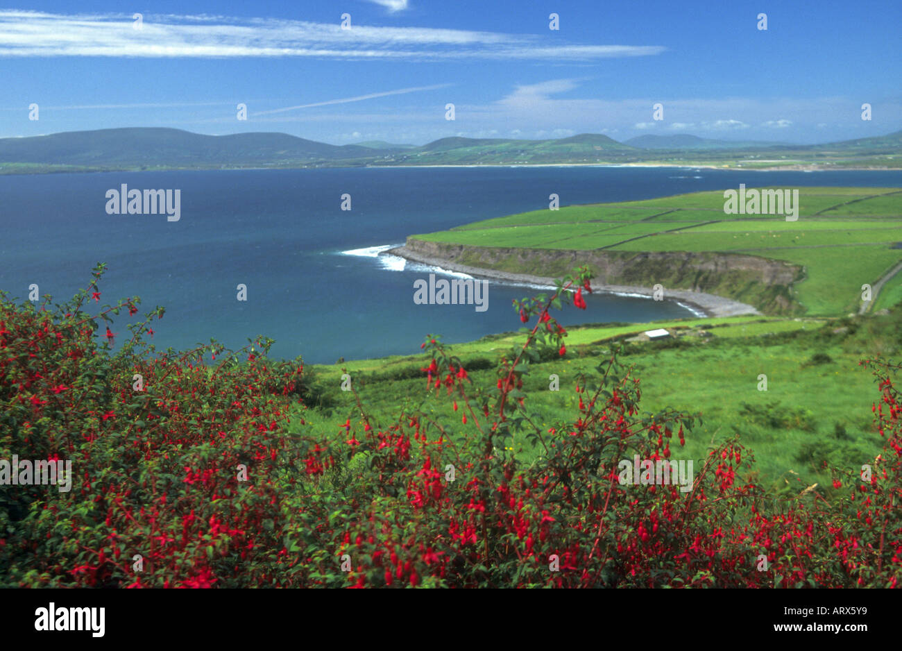 Typical fuschia hedge as found widely in the West of Ireland - Stock Image