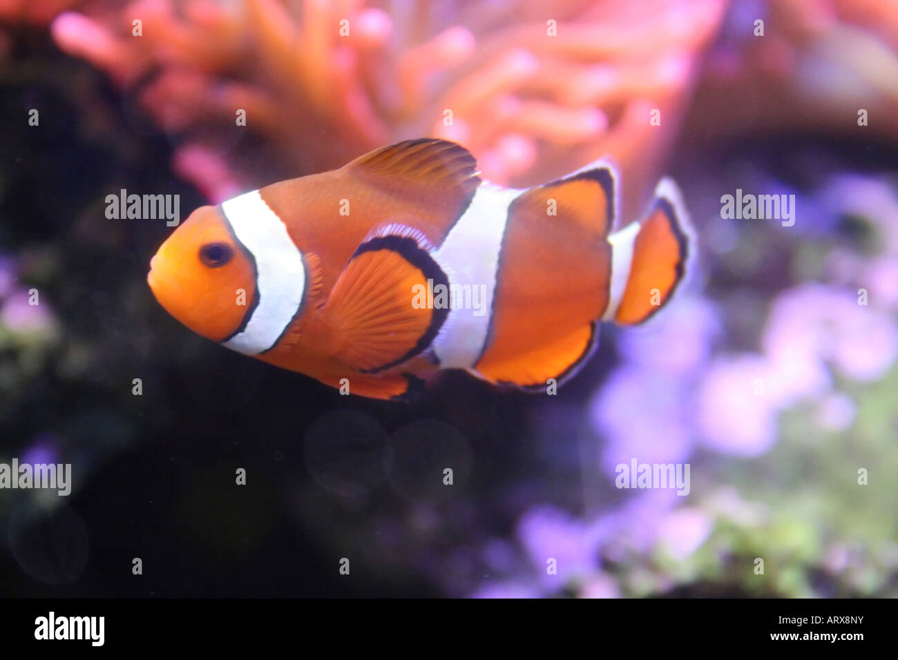 Amphiprion, nemo (klown) - fish Stock Photo: 16140806 - Alamy