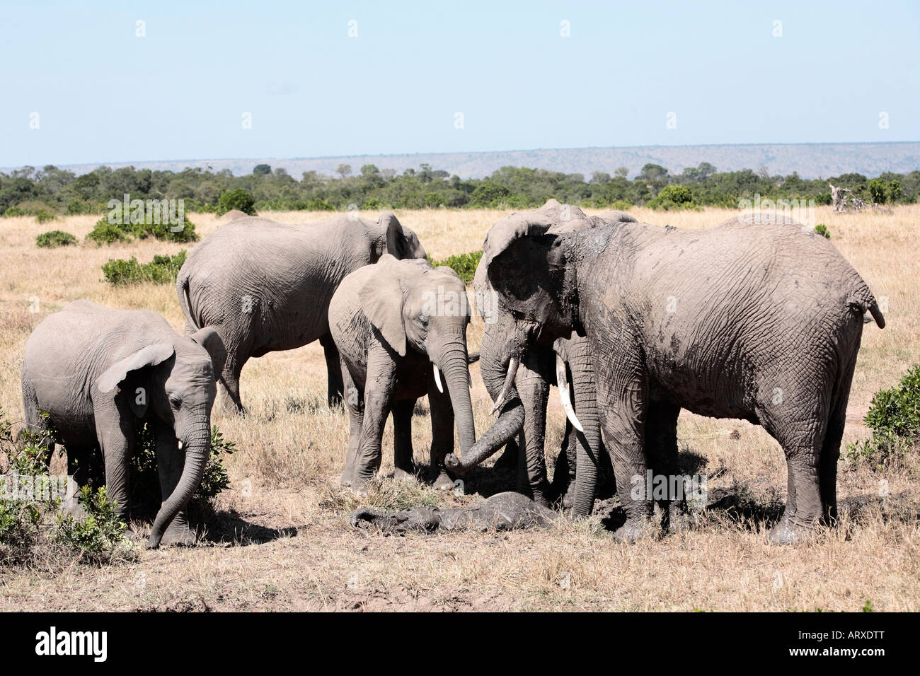 bunch of elephants playing with mud to protect them from heat and sun ,Elephantidae, in the bush of the masai reserve - Stock Image