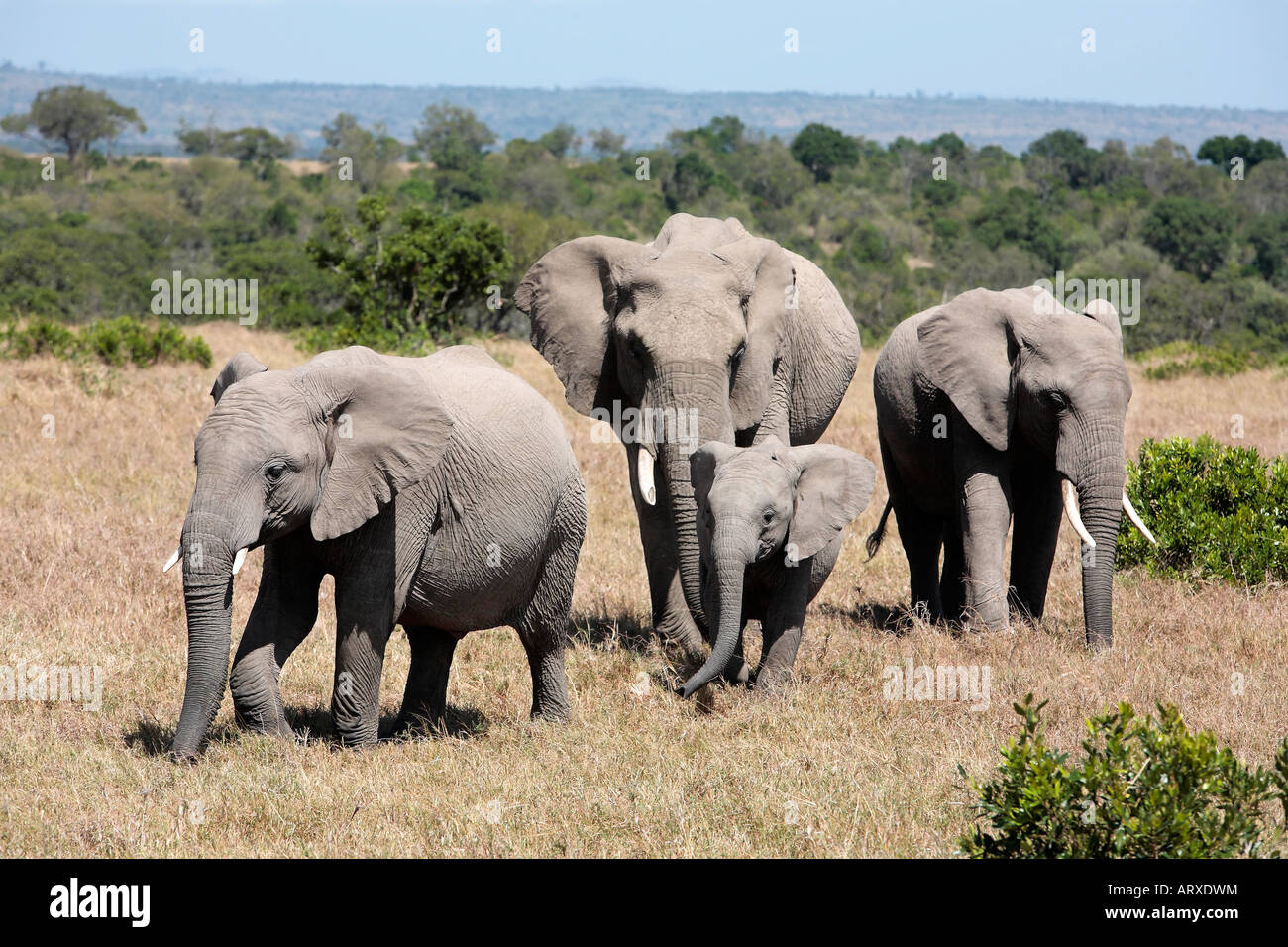 bunch of elephants, Elephantidae, in the bush of the masai reserve in kenya africa - Stock Image