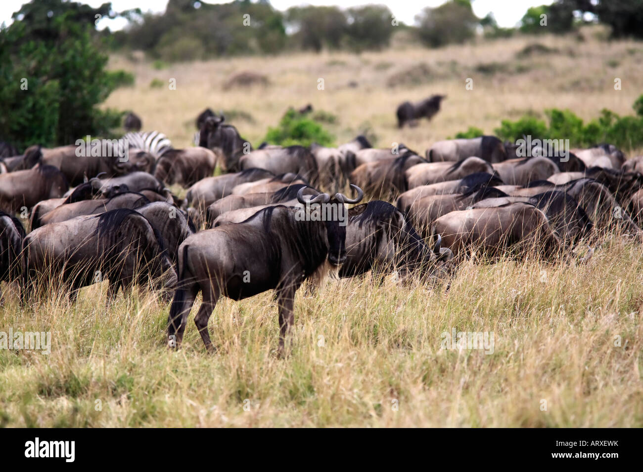 Wildebeest grazing  in the beautiful reserve of masai mara in kenya africa - Stock Image