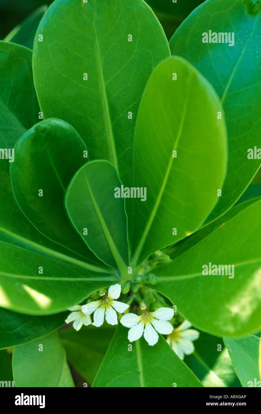 Naupaka plant a hawaiian legend says the half flowers represent two a hawaiian legend says the half flowers represent two lovers one the beach naupaka and the other the mountain izmirmasajfo