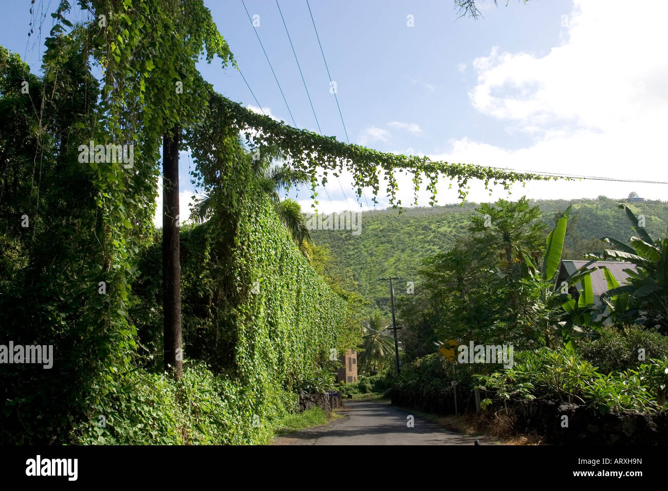 vines cover telephone pole and wires on rural big island street
